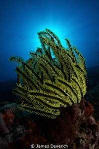Crinoid Burst by James Deverich