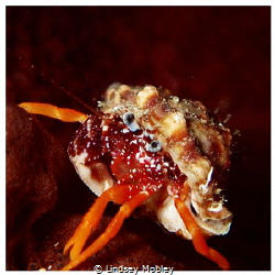 Tiny crab with beautiful blue eyes by Lindsey Mobley