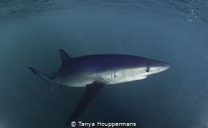 I've Got My Eye On You Blue shark off the coast of Rhode... by Tanya Houppermans