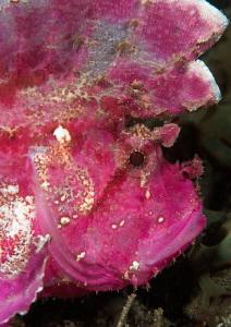 Pink leaf scorpionfish. by Mehmet Salih Bilal