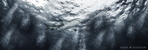 Lemon shark at tiger beach by Ken Kiefer