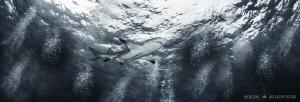 Lemon shark at tiger beach by Ken Kiefer
