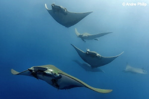 """""""Exciting Moment"""" - A group of Mobula Rays comes very close by Andre Philip"""
