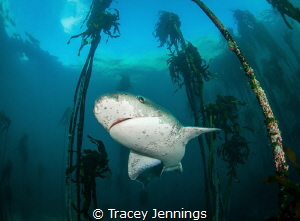 7 gill shark in the kelp forest by Tracey Jennings