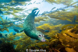 Dancing in the Breeze. This harbor seal glides effortless... by Douglas Klug
