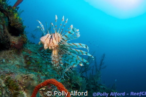 Lionfish in Southern Belize, diving with ReefCI.  Canon T... by Polly Alford