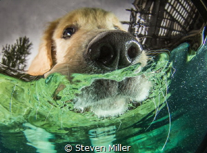 Puppy whiskers. I can't get him to go underwater yet, (bu... by Steven Miller