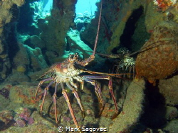 Big Bugs Two nice bugs inside the wreck of the RMS Rhone by Mark Sagovac