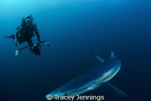 Unexpected model. Photographing blue sharks off south africa by Tracey Jennings
