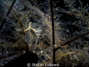 Indiscernible ... ? Black and Silver Cuapetes Shrimp - Cu... by Stefan Follows