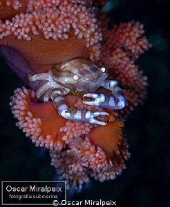 softcoral crab by Oscar Miralpeix