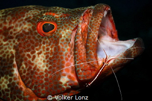 Grouper with cleaning shrimp by Volker Lonz