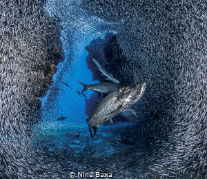 Fanning out for the feed - Tarpon with Silversides, Grand... by Nina Baxa