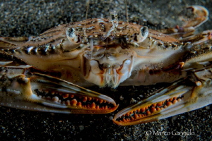 Crab in red by Marco Gargiulo