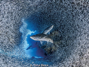 Crossways - Tarpon hunting Silversides. This is an image ... by Nina Baxa