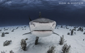 Big Pimpin  Large tiger shark comes in for a closer look by Ken Kiefer