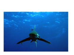 Oceanic White Tip swimming right at me at Elphinstone Reef. by Wijnand Plekker