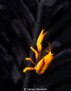 Squat Lobster on black crinoid. Not hiding for a change. by James Deverich