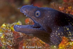 Common murray eel by Fuster Luc