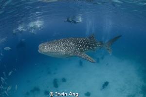 B I G - O N E  Whale Shark (Rhincodon typus) Oslob, Ceb... by Irwin Ang