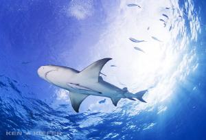Lemony Freshness! Lemon Shark in the beautiful waters of... by Ken Kiefer