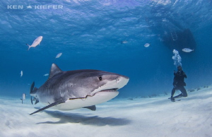 Unfortunate result of fishing.  This tigershark, nickname... by Ken Kiefer
