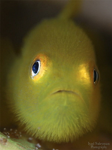 Yellow hairy goby by Iyad Suleyman