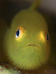Yellow hairy goby by Iyad Suleyman