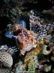 A little Lion Fish, Jackson Reef, Taran, Egypt. Kodak Ekt... by Robert Fleckenstein