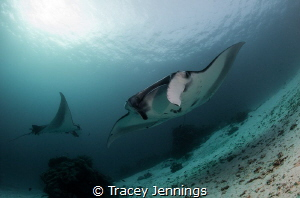 Manta approaching by Tracey Jennings