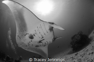 Awed by a manta by Tracey Jennings