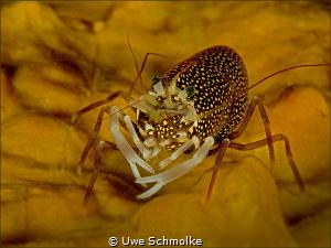 Spotted Bumblebee shrimp - Gnathophyllum elegans by Uwe Schmolke