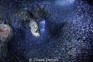 """""""Got Silversides?"""" A Tarpon completely surrounded by his... by Chase Darnell"""