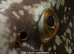 window to the soul.... grouper close up by Claudia Weber-Gebert