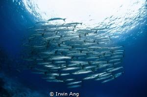 R A Y - F I N N E D Barracuda Sumilon Island, Cebu. Phi... by Irwin Ang