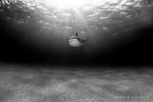 Loneliness     Lone Tiger Shark surveys the barren land... by Ken Kiefer