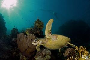 Marsa Nakari, turtle :-D by Daniel Strub