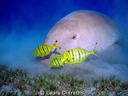 Dugong (sea cow, sirenian) feeding on seagrass with juven... by Laura Dinraths