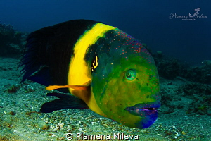 Broomtail wrasse by Plamena Mileva