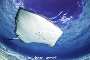"""""""Requesting a Fly-by"""" Southern Stingray swimming near th... by Chase Darnell"""