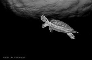Hawksbill Turtle overhead in Cozumel  by Ken Kiefer