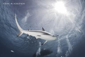 Reef Shark overhead by Ken Kiefer
