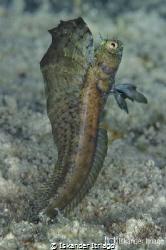 Sailfin Blenny from Cozumel Island in Mexico.  Nikon D7... by Iskander Itriago