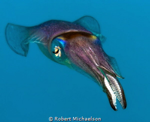 Squid at dive site Country Garden, Bonaire. by Robert Michaelson