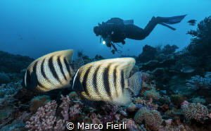 6-barred Angel Fish couple by Marco Fierli
