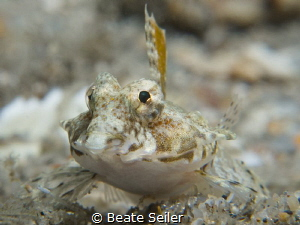 Dragonet by Beate Seiler