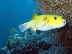 Nikon D100 and light and motion housing Puffer fish by Martin Van Gestel