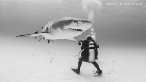 Large Lemon Shark glides past an underwater photographer