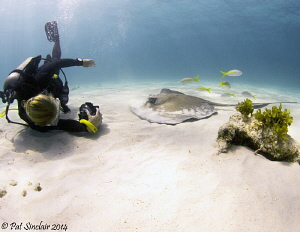 The Stingray Whisperer  This was taken in Grand Cayman a... by Patricia Sinclair