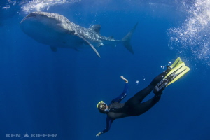 My friend snorkeling down next to a whale shark.